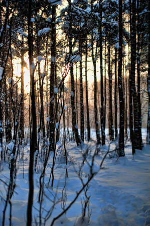 winter forest at sunset photo
