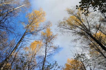 treed: tops of the trees against the blue sky Stock Photo