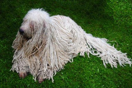 Komondor - a Hungarian sheep-dog