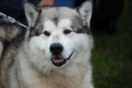 An Alaskan Malamute Dog photo