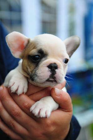 wrinkely: French bulldog puppy