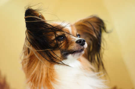 Papillon: Papillon dog portrait  Stock Photo