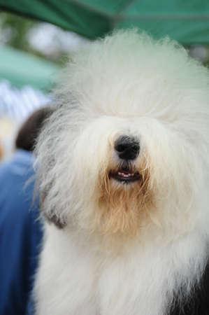 A beautiful english old sheepdog,outdoors photo