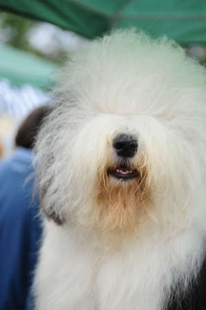 thoroughly: A beautiful english old sheepdog,outdoors Stock Photo