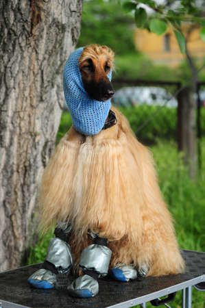 Afghan Hound photo