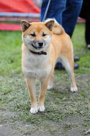 cropped shots: Japanese Shiba dog Stock Photo