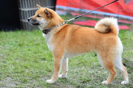 Japanese Shiba dog photo