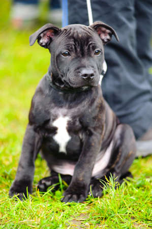 Portrait of a black and white Staffordshire Bull Terrier sitting photo