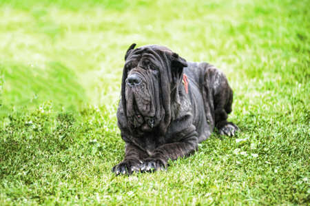 Mastiff Stock Photo - 8415660