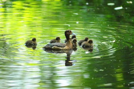 duck with ducklings in the water photo