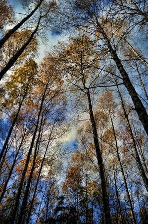 coniferous forest: las cimas de �rboles contra el cielo azul