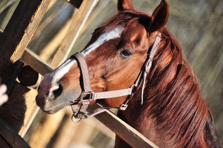 quarter horse: head brown horse