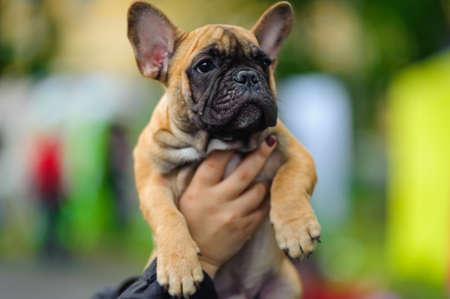 French bulldog puppy photo