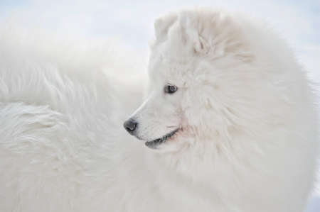 White dog covered with snow photo