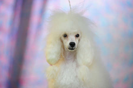 white poodle photo