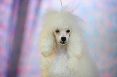standard poodle: white poodle