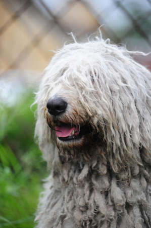 Komondor - a Hungarian sheep-dog photo