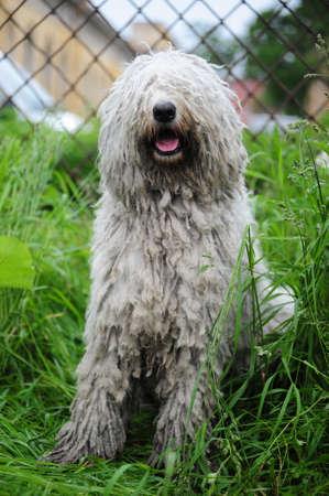 Komondor - a Hungarian sheep-dog photo