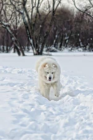 Samoyed dog on the snow photo