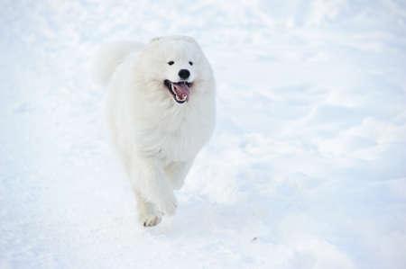 cani che giocano: Samoyed cane sulla neve