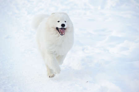dog sled: Samoyed dog on the snow Stock Photo