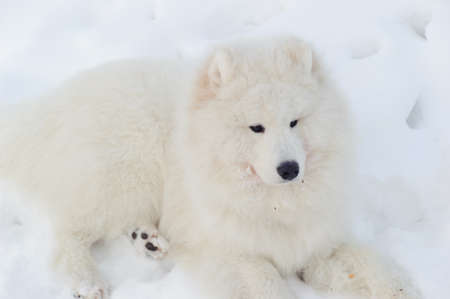 siberian samoyed: Young Samoyed at the park in winter