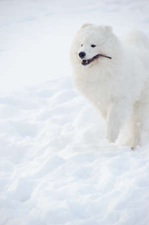 Young Samoyed at the park in winter photo