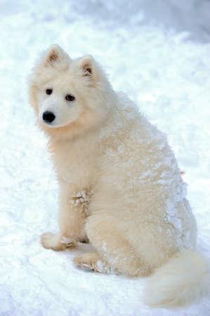 puppy Samoyed photo