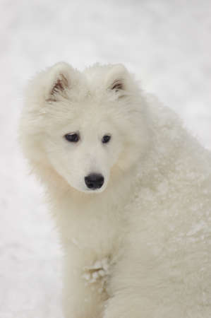 Five-month puppy Samoyed photo