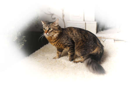A Maine coon cat photo
