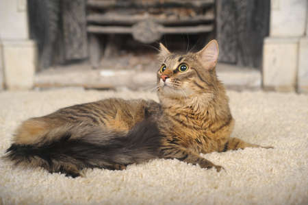 Maine Coon lying on the carpet photo