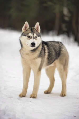 blue eye husky: Husky dog