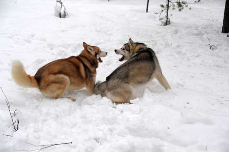 Two Huskies (dogs) playfully fighting photo