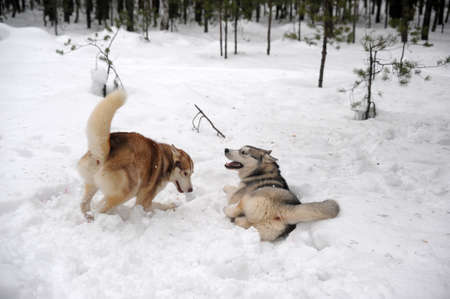 huskies: Two Huskies (dogs) playfully fighting