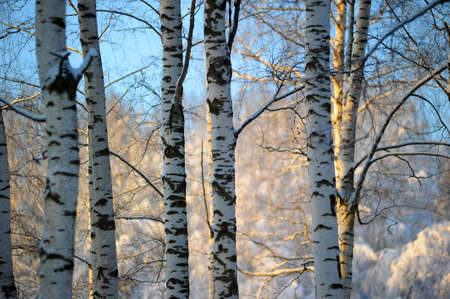 birch bark: Winter