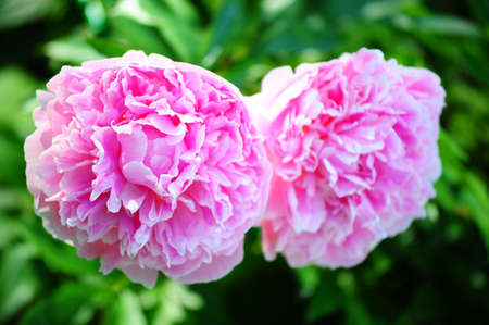 pink peonies Stock Photo - 8799321