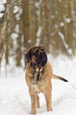 english mastiff Stock Photo - 8799377