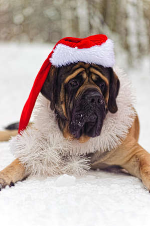Mastiff in a Christmas costume photo