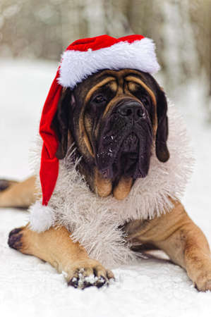 Mastiff in a Christmas costume photo