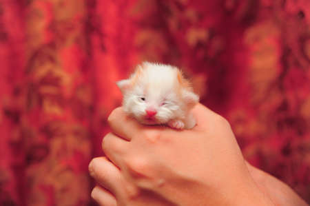 furred: Hands cupping small kitten