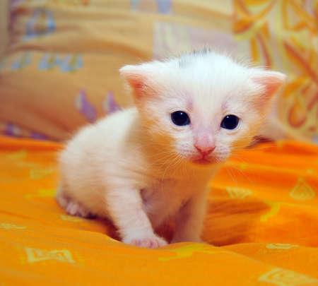 little white kitten Stock Photo - 9262187