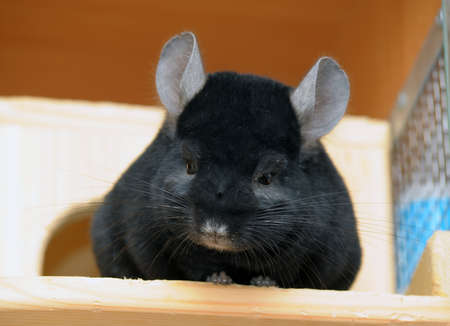 black chinchilla photo