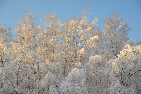 Trees covered with rime photo
