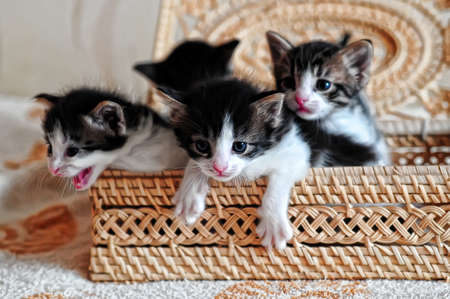 Kittens in a basket Stock Photo - 9416196
