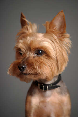 hairy adorable: Yorkshire terrier Stock Photo