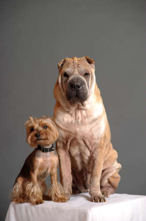 Sharpei and Yorkshire terrier dogs photo