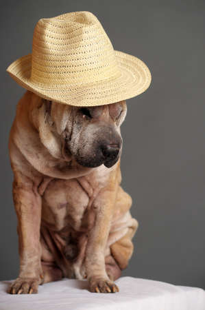 Shar Pei Dog photo