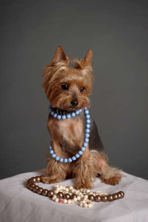 Yorkshire Terrier and beads photo