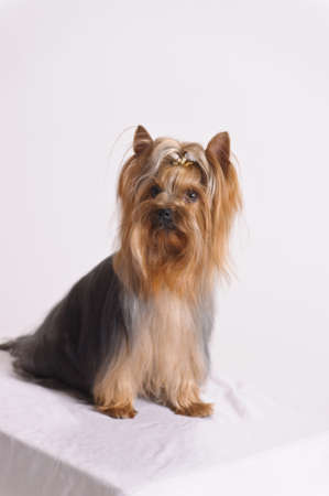 Yorkshire Terrier Stock Photo - 9447919