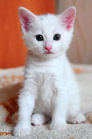 white kitten photo